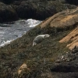 Seal on White Island (Isles of shoals)