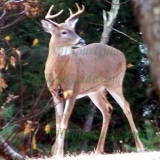 The New Hampshire State Animal - The White Tailed Deer. Shown is a male White Tailed Deer. Photo taken in Barnstead NH.