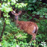 "White Tailed Deer - Female, or Properly Known as a ""Doe"""