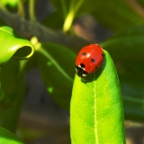 The New Hampshire State Insect - The Ladybug