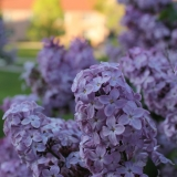 The New Hampshire State Flower - The Purple Lilac