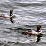 Pair of Loons - Viewed from the MS Mount Washington Cruise Ship at it's Meredith Port