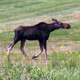 Moose Photo From NH - This photo of a Moose was taken about 50 miles South of Moose Alley.