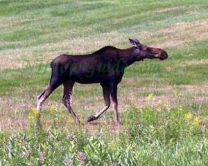 Moose Alley NH