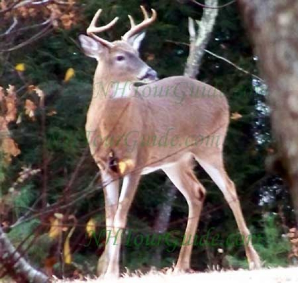 The New Hampshire State Animal