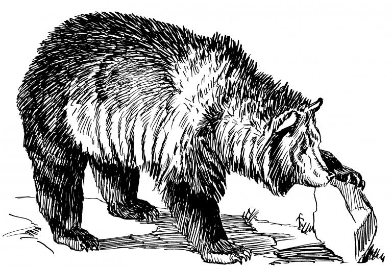 bear 768x523