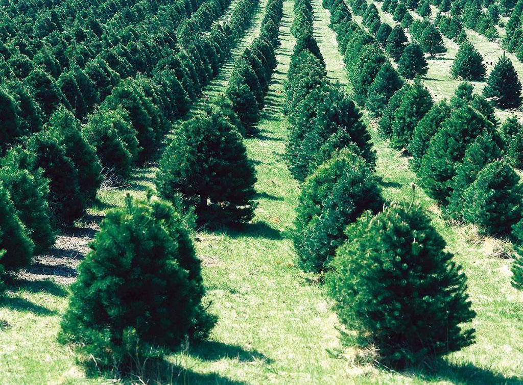 Cut Your Own Christmas Tree Farms – New Hampshire Things ...
